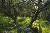 Corfu  Greece - Olive Trees in the Countryside of Corfu