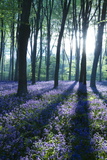Sunlight Through Treetrunks in Bluebell Woods  Micheldever  Hampshire  England