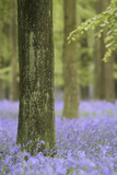 Tree in Bluebell Forest  Ashridge  Hertfordshire  England