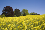 Yellow Rape Fields  Canola Fields  Wiltshire  England Against a Blue Sky