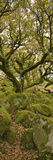 Dartmoor  Wistmans Wood  Stunted Oak Trees  Vert Pano