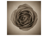 Close-Up of Sepia Rose