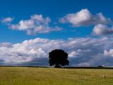 Solo Oak Tree