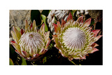 King Protea National Flower Of South Africa