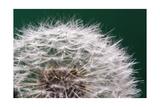 Dandelion Seeds On Green