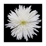 This White Chrysanthemum