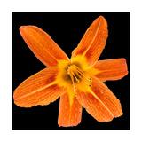 This Orange Lily