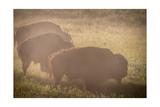 Bison Morning Mist Yellowstone