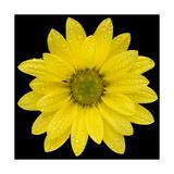 This Yellow Daisy