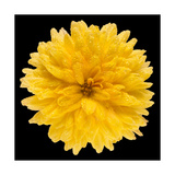 This Yellow Chrysanthemum