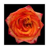 This Magic High Rose