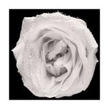 This White Rose