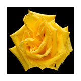 This Yellow Rose