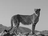Portrait of Standing Cheetah, Tsaobis Leopard Park, Namibia Papier Photo par Tony Heald