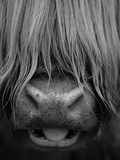 Highland Cattle  Head Close-Up  Scotland
