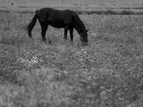 Black Horse in a Poppy Field  Chianti  Tuscany  Italy  Europe