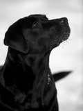 Black Labrador Retriever Looking Up