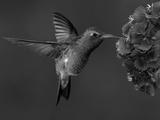 Broad-Billed Hummingbird  Male Feeding on Garden Flowers  USA