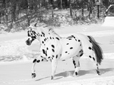 Appaloosa Horse Trotting Through Snow  USA