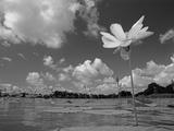 American Lotus  in Flower  Welder Wildlife Refuge  Rockport  Texas  USA