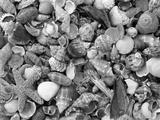 Mixed Sea Shells on Beach  Sarasata  Florida  USA