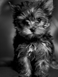 Yorkshire Terrier Puppy Portrait