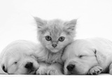 Lilac Tortoiseshell Kitten Between Two Sleeping Golden Retriever Puppies