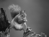 Red Squirrel Balancing on Pine Stump  Norway