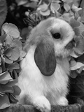Young Lop Eared Domestic Rabbit  USA