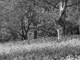 Bluebells in Woods  Springtime