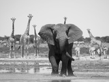 African Elephant  Warning Posture Display at Waterhole with Giraffe  Etosha National Park  Namibia