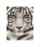 White Tiger Face Portrait