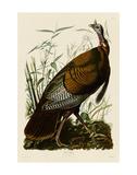 Wild Turkey I