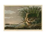 Courlis à long bec Reproduction d'art par John James Audubon