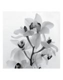Orchid Spray I