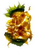 Chiquita Sunflower