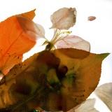 Crabapple Rose I  2014