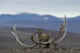 Arctic Fox (Vulpes Lagopus) Standing Next To Reindeer Skull