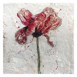 Red Poppy on White