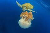 Green Sea Turtle Feeds on Large Pelagic Jellyfish