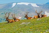 Gang of Elks in Colorado