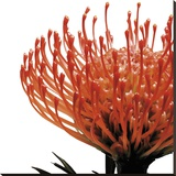 Orange Protea 1 (detail)