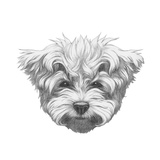 Original Drawing of Maltese Poodle Isolated on White Background