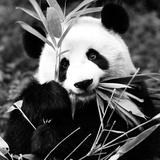 China 10MKm2 Collection - Giant Panda Papier Photo par Philippe Hugonnard