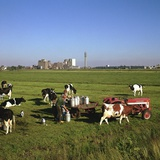 Cattle-Milking in Fields North-West of Amsterdam