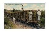 Train Load of Sugar Cane Leaving the Field  Cuba  1915