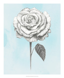 Graphite Rose III