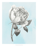 Graphite Rose II