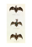 Bats  'Quadrupeds'  from De Buffon
