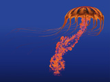 Orange Jellyfish Illustration